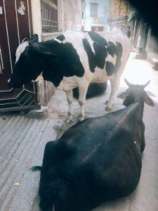 インドの道端で牛と遭遇した時の対処法
